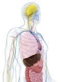 Male anatomi royaltyfri illustrationer