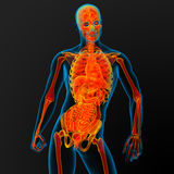Male anatomi Arkivbilder