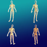 Male Anatomy 1 stock illustration