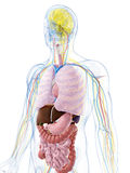 Male anatomy Stock Image