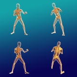 Male Anatomy 9. Realistic male human body anatomy with fighting pose Stock Photography