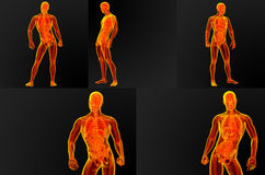 Male anatomy. 3d render illustration of the male anatomy Stock Photography