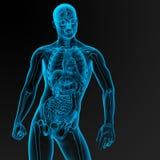 Male anatomy Stock Photo
