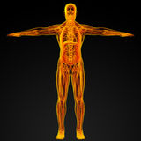 Male anatomy Royalty Free Stock Photography