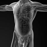 Male anatomy Stock Photography