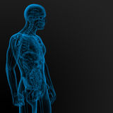 Male anatomy Stock Images