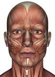 Male Anatomy Face. 3D digital render of a male anatomy face with muscles map isolated on white background Stock Photos