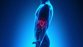 Male anatomy - Human Spleen. Scan stock footage