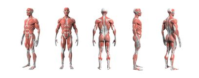 Human anatomy muscular system 3d rendering. royalty free illustration