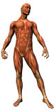 Male anatomy - musculature. Male anatomical study illustrating human musculature Royalty Free Stock Photos