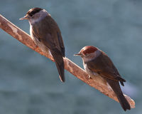 Male And Female Blackcaps Royalty Free Stock Image