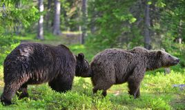 Free Male And Female Brown Bears Sniff At Each Other During The Mating Season. Scientific Name: Ursus Arctos. Stock Image - 167523881