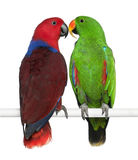 Male And Female Eclectus Parrots Stock Photo