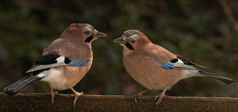 Male And Female Jays Royalty Free Stock Photo