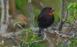 Male (and Female) Lesser-Antillian Bullfinch Stock Images