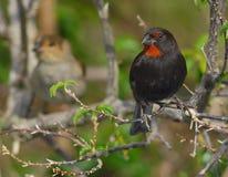 Male (and Female) Lesser-Antillian Bullfinch Royalty Free Stock Image