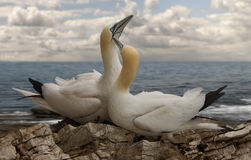 Male And Female Northern Gannets Stock Image