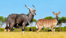 Male And Female Nyala Antelope. Stock Photos