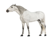 Male Andalusian, 7 years old, also known as the Pure Spanish Horse or PRE, with plaited mane and stretching its neck. Against white background stock photo