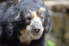 Male andean bear2 Royalty Free Stock Images
