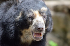 Male andean bear3 Royalty Free Stock Photo