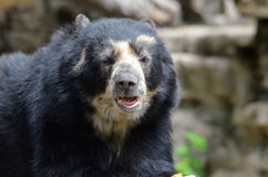 Male andean bear Royalty Free Stock Photos