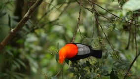 Male of Andean Cock-of-the-rock Rupicola peruvianus on branch and eating red berries from tree. Beautiful orange bird in its natural enviroment, amazonian rain stock video footage