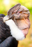 Male Andean Condor Close Up royalty free stock image