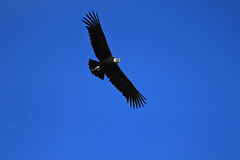 Male andean condor flying close Royalty Free Stock Image