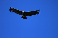 Male andean condor flying close stock photo