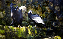 Male Andean condor with the open wings before a bird female Royalty Free Stock Image