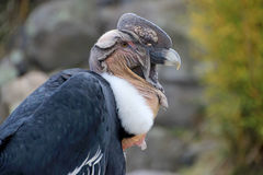 Male andean condor portrait, Ecuador Stock Photo
