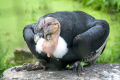 Male Andean condor. Sitting on a rock Stock Image