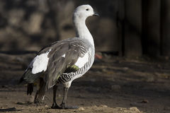 Male Andean Goose, Chloephaga melanoptera Stock Photography