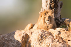 Male Angola lion portrait sitting on rocks with a tree as background. Royalty Free Stock Photos