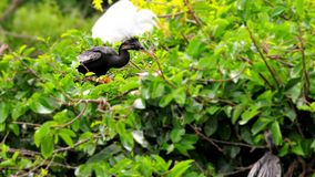 Male Anhinga on branch & chick in nest. Male Anhinga standing on a branch and his baby in the nest, in a tree of Wakodahatchee Wetlands, in Delray Beach, South Royalty Free Stock Image