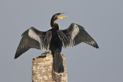 Male Anhinga calling as it spreads its wings to dry Stock Photo