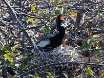 Male Anhinga Calling Out From Nest with Babies. Male Anhinga calling out in nest with baby Anhingas Stock Photography