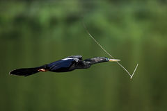 Male Anhinga In Flight Stock Image