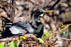 Male Anhinga in nest in wetlands, Florida. A male Anhinga in a nest in a tree over the water of  Wakodahatchee Wetlands in Delray Beach, South Florida.  The Royalty Free Stock Photos
