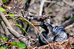 Male Anhinga in nest in wetlands. A male Anhinga in a nest in a tree over the water of  Wakodahatchee Wetlands in Delray Beach, South Florida.  The Anhinga is Royalty Free Stock Image