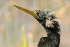 Male Anhinga Portrait Royalty Free Stock Photos