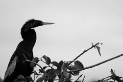 Male Anhinga silhouette Royalty Free Stock Images