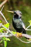 Male Anhinga sitting on a tree Stock Photography
