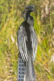 Male Anhinga on a Water Level Sign in the Everglades Stock Photography
