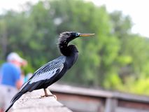 Male Anhinga on wooden railing in wetland Stock Photography