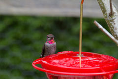 Male Anna's Hummingbird. A male Anna's Hummingbird sits at a feeder Royalty Free Stock Photography