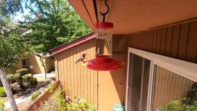 Male Anna`s Hummingbird drinking sugar water from a hummingbird feeder hanging on a patio; San Francisco bay area, California
