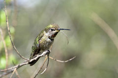 Male Anna's Hummingbird Perched on a branch. Anna's Hummingbird Perched on a branch with green leaves in the background Royalty Free Stock Images