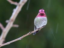 Male Anna`s Hummingbird in the Rain. A male Anna`s Hummingbird perched on a branch in the rain Stock Photos